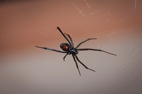 蜘蛛 殺虫剤 手作り