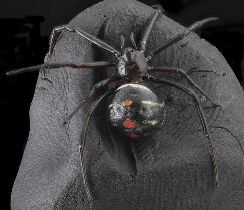 蜘蛛 背中 顔 矢印