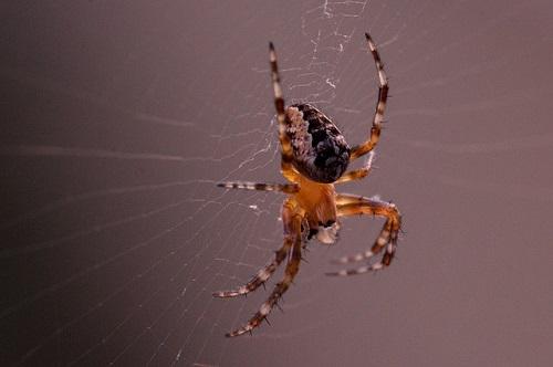 蜘蛛 赤 縞