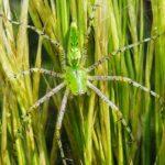 お腹が緑色や全体が緑色の蜘蛛は毒蜘蛛なのか!?