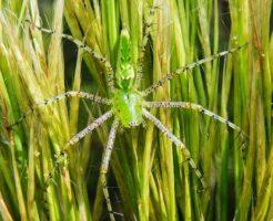 お腹 緑色 蜘蛛