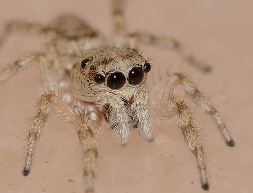 蜘蛛 目 複眼 構造