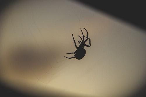 蜘蛛 家 黒 小さい 大きい