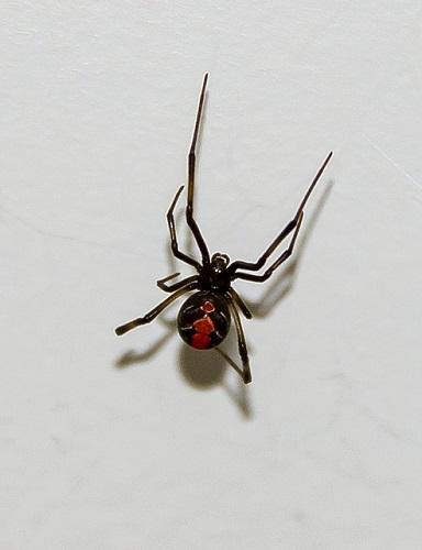 お腹 赤い 蜘蛛