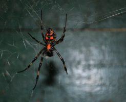 蜘蛛 種類 足 背中 赤色