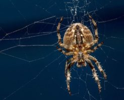 蜘蛛 卵 お腹 子供