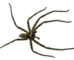 蜘蛛 卵 数 白 家