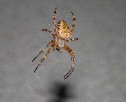 蜘蛛 北海道 デカイ
