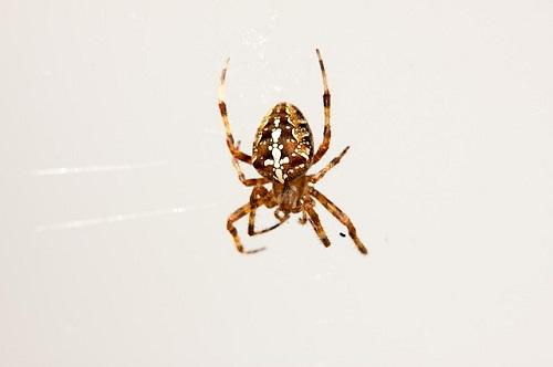 蜘蛛 対策 スプレー アロマ