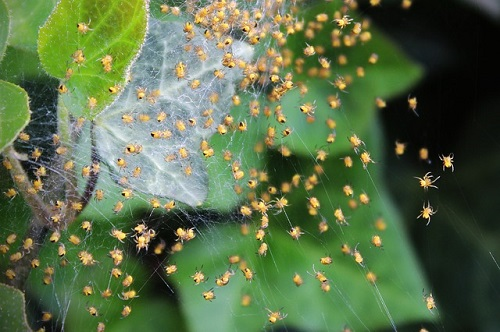 蜘蛛 繁殖 産卵 時期