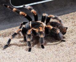 蜘蛛 種類 タランチュラ 値段 飼い方 寿命