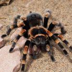 蜘蛛とタランチュラの違い