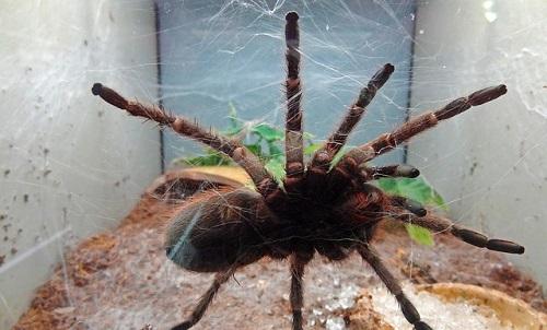 蜘蛛 夢占い タランチュラ