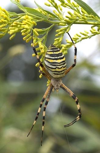 蜘蛛 黒 黄