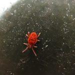 赤色の蜘蛛の種類は何?小さいけど赤ちゃんなのか大人なのか?