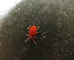 蜘蛛 赤ちゃん 赤色