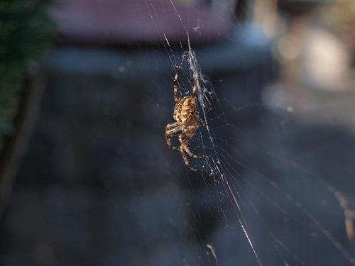 蜘蛛 茶色 1cm 5cm