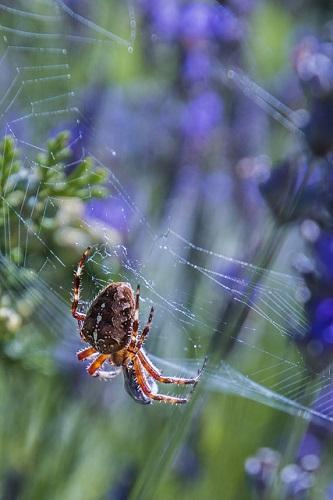 蜘蛛 白 大きい