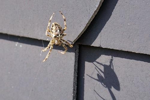 蜘蛛 壁 天井 家 なぜ