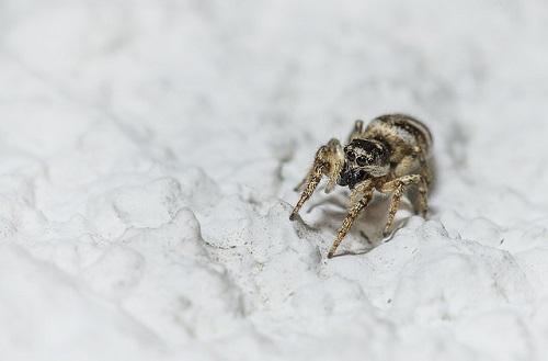 蜘蛛 茶色 縦縞