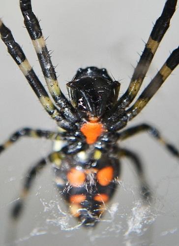 蜘蛛 刺された 毒 症状 処置