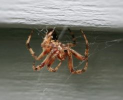 蜘蛛 白い 牙