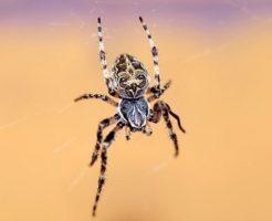 蜘蛛 性別 見分け方