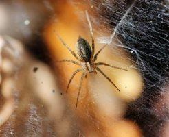 蜘蛛 足 本数 10本 どこから