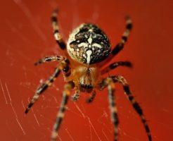 蜘蛛 種類 見分け方