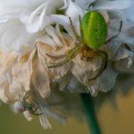 緑色や黄緑した蜘蛛で顔みたいな模様のクモとは?
