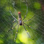 赤、黄、黒のカラフルな色を持つ蜘蛛ジョロウグモとは?